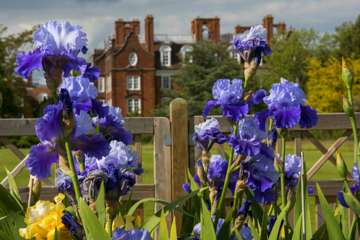 Photo of an iris with Old Hall in the background