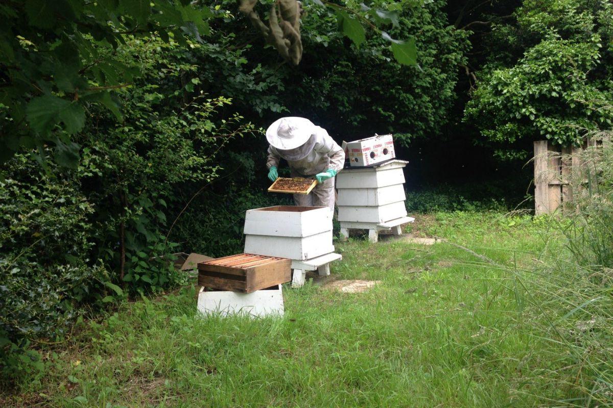 Head gardener tending to Newnham's bees