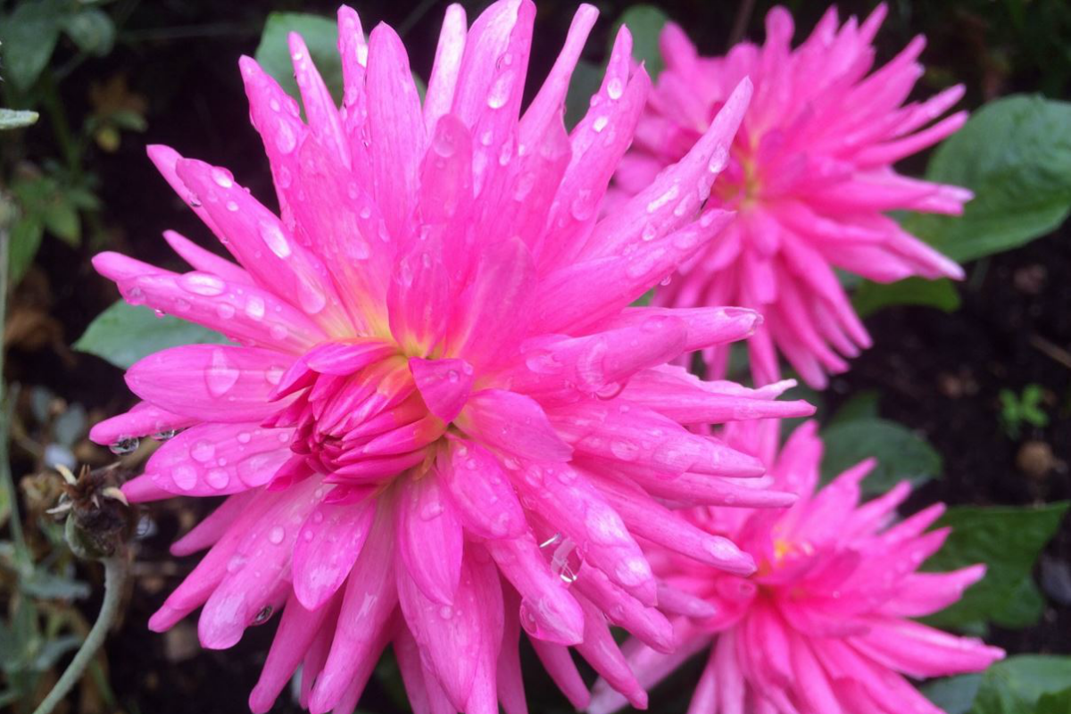 The newnham naturalists dahlias bats and box tree moths newnham from pompom to cactus waterlily to fimbriated nothing divides opinion in the shed quite like deciding whats best in a dahlia but for late season colour izmirmasajfo